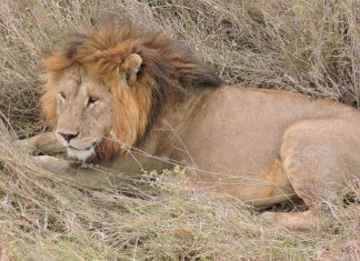 A lion from Big Cat area in the Serengeti. (Photo courtesy Zohar Safaris.)