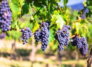 In Florence, guests learn about the production and ageing process of Chianti wines.