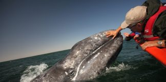 Las Ventanas al Paraiso, A Rosewood Resort'sWhale Safari Experience allows guests to viewgray whales, blue whales and humpback whales inBaja California Sur.