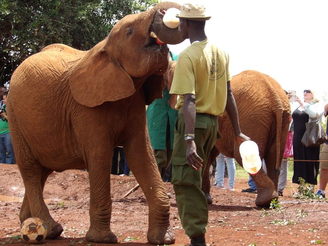 Feeding time at the elephant orphanage.