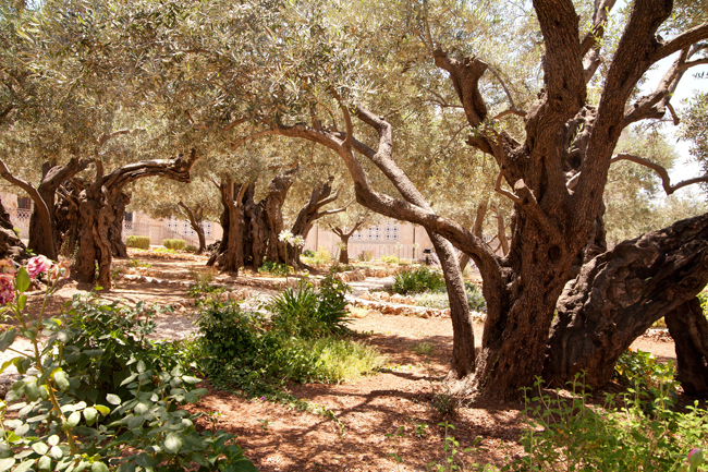 The Garden at the Church of All Nations, Gethsemane, Jerusalem. (Photo credit: Israel Ministry of Tourism)