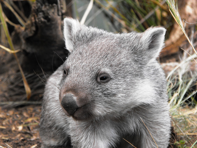 On Travcoa's Tasmania, Authentic By Nature Private Journey honeymooners might meet the hobart wombat. (Photo credit: Travoca.)