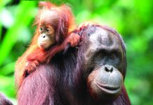 Wild Planet Adventures' Borneo itineraries offer the opportunity to see orangutans in the wild.