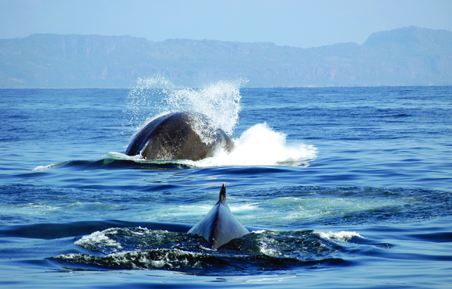 Whale-watching in the Bay of Samana in the Dominican Republic.