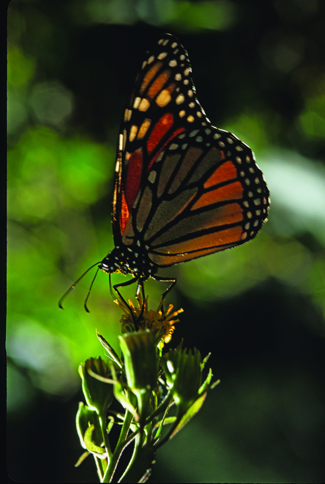 With Natural Habitat Adventures, clients can go chasing after monarch butterflies.