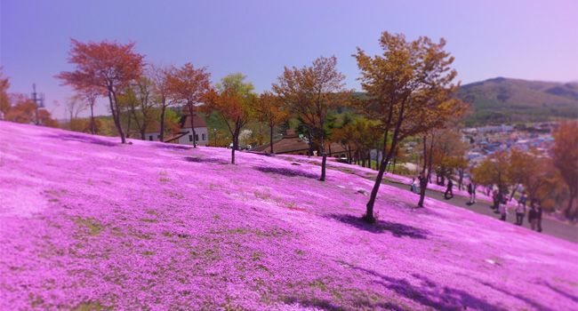 In addition to its 2017 cherry blossom season tours, Super Value Tours is also offering Shibazakura tours in May 2017. Pictured here, the Shibazakura blossoms are a type of flowering pink moss that covers hills.