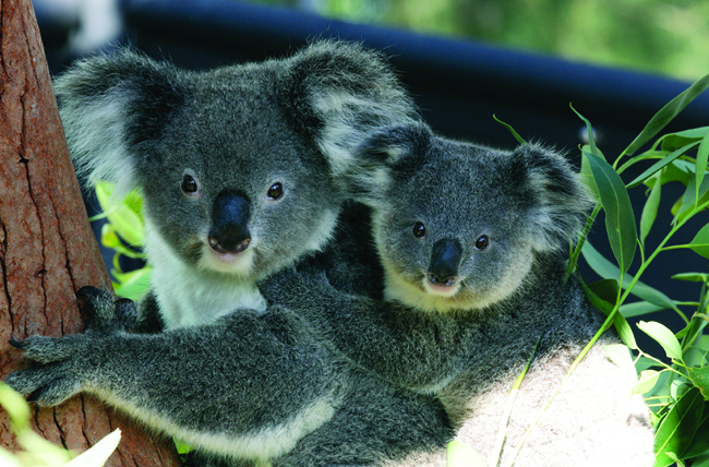 Koala-viewing at Featherdale Wildlife Park with Goway.