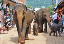 Elephants in Sri Lanka.