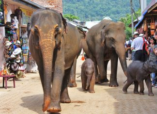 Elephants in Sri Lanka.