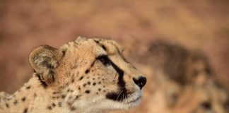 De Wildt Cheetah and Wildlife Centre