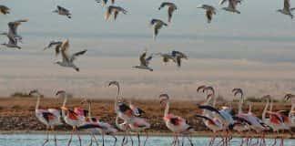 Bird migration in Hula Valley.