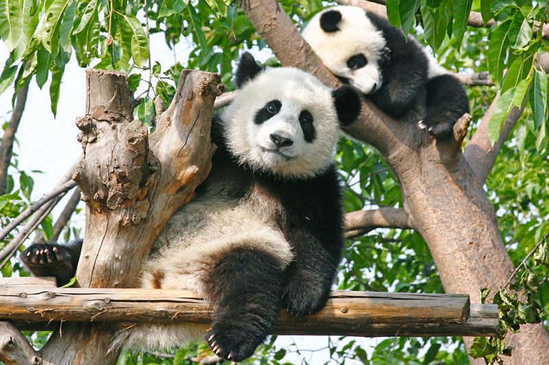 Avanti Destinations' add-on Panda Private Volunteer Experience allows travelers to visit the China Conservation and Research Centre for the Giant Panda.