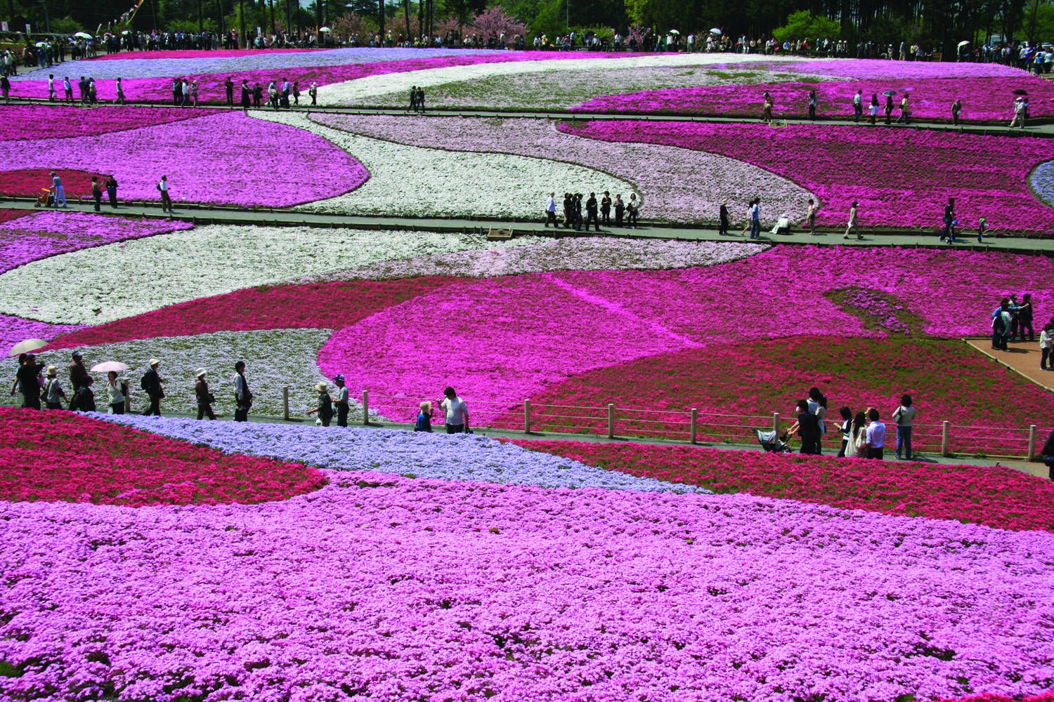 The cherry blossoms in Japan. (JNTO)