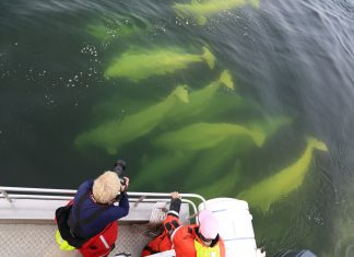 Guests spotting beluga whales while on the Hudson Bay in Canada. (Photo courtesy of Abercrombie & Kent.)