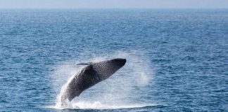 Silversea guests can contribute to marine conservation efforts on select voyages in 2018 and 2019.