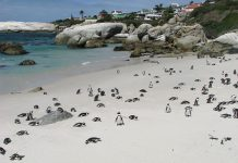Penguins on the beach in Cape Town. (Photo courtesy of The Twelve Apostles.)