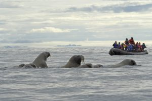 Spotting walrus on a zodiac trip. (Photo credit: Gary Alt, courtesy of TravelWild Expeditions.)