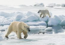 Travelers can spot polar bears on this Arctic expedition. (Photo credit: John Shaw, courtesy of TravelWild Expeditions.)