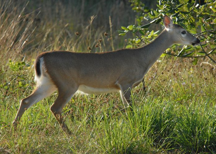 A Key deer searches for food in the National Key Deer Refuge on Big Pine Key. (Photo Credit: Andy Newman/Florida Keys News Bureau)