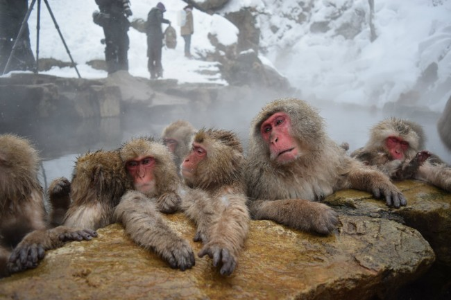 Visitors can catch a glimpse of snow monkeys relaxing in the natural hot springs at Japan's Jigokudani Monkey Park.