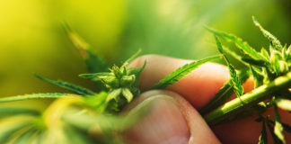 cannabis tours