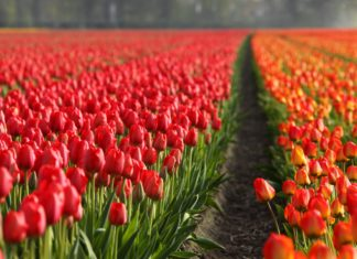 Tulips Holland